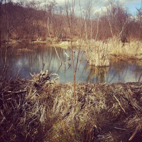 Latest beaver pond (Taken with instagram)