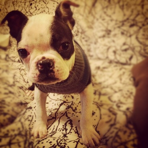 fuckyeahbostonterriers:  Our little Brains needed a sweater to keep warm in the cold.