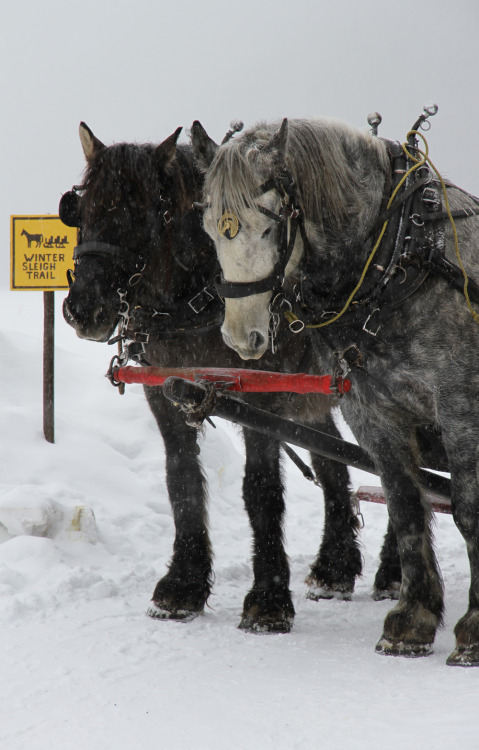 A beautiful shot of the sleigh driving horses during a rest at the Chateau Lake Louise. Learn more about the Brewster sleigh rides here.  Photo taken by Kyle Sonnenschein with a Canon 7D.