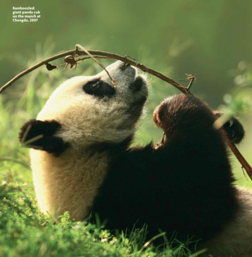 "Giant Panda One of the most recognised bear species in the world, here are some facts you may or may not have know about them: Giant Pandas have a digestive system designed for carnivores however eat over 30 KG of Bamboo everyday. The result of this is that they must spend over 20 hours a day sleeping in order to recover from their exhausting digestive process. They have been around for over 8 million years however are considered threatened as there are only just over 1600 left in the wild. All wild Giant Pandas exist in the provence of Sichuan China, and within that only between 5 mountain ranges. Their habitat, as localised as it already is, now is shrinking due to the rapid growth and urbanisation of China. The Chengdu Research Base of Giant Panda Breeding is the most successful government based Giant Panda breeding program in the world, however has not released a single one into the wild since it's opening in 1987. The Giant Pandas at this research centre are given 50 Kg of Bamboo a day, as they are ""picky"" and only eat 30 Kg of this."
