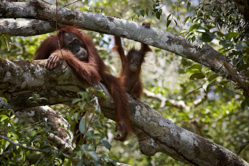 funkysafari:  Orangutans Kalimantan Indonesia By Michael Malherbe