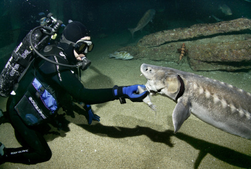 "Cool job! Our Aquarists get to hand-feed many of the fish in our Monterey Bay Habitats exhibit, like this sturgeon. These fish are sometimes called ""living fossils""—they were swimming the world's waters when dinosaurs roamed the land, and they can live to be over 100 years old! Learn more."