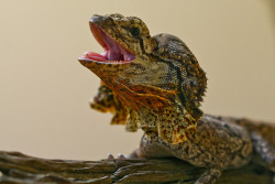 I'm pretty sure anybody can recognize this unique reptile. The Frilled Lizard (Chlamydosaurus kingii) is endemic to Northern Australia. Most people recognize it by it's distinct appearance when threatened. They rise on their hind legs, open their frighteningly yellow mouth, hisses, and unfurls the colorful, pleated skin flaps along their face. The best part is if the threat doesn't back down, they swing around and run like hell to safety, continuing with the ridiculously intimidating look, never bothering to look back. They're a part of the family Agamidae, spending most of their lives in trees. On occasion, they'll descend from the tree in order to feed on ants and smaller lizards. Spiders, termites, small mammals and cicadas are also on the menu for this predator. Predators of this predator include birds of prey, larger lizards, snakes, dingoes and feral cats. Habitat reduction and predation, particularly by the feral cats, are causing reductions in population, but they are neither threatened nor endangered. Females lay up to 23 eggs in an underground nest, and offspring are independent upon hatching. The lifespan of these reptiles is uncertain, but in captivity they have lived up to 20 years. Photo credit: Symoto