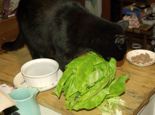 Eating lettuce