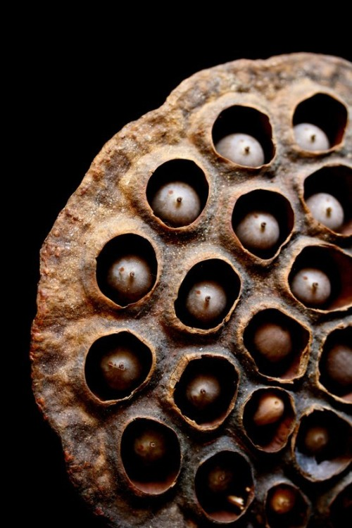 dailyfotojournal:  lotus seed pod