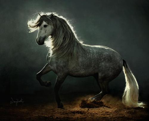 The Andalusian Horse - a picture of beauty and grace. (via by wojtek kwiatkowski)