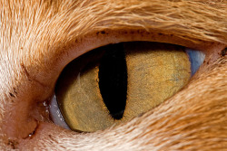 "A common question I hear is ""why do cats have slits for pupils rather than circles?"" And there's an obvious, yet complicated answer for that. Their eyes are specialized to assist them in being the predator that they are. Being mainly nocturnal, they require eyes made to see in dim light; requiring only 1/6 of the light needed for human vision. The muscles of the iris surrounding the pupil of a cat's eye are constructed to be narrow slits in bright light and open fully in very dim light, to allow a maximum of illumination. The tapetum lucidum is a layer of tissue located in the back of the eye which acts like a mirror, reflecting light back to the retina. This can increase the light that reaches the retina, which is why their eyes glow when hit by a beam of light, especially noticed in pictures or at night. Big cats appear to have more circular eyes when dilated, because they are nocturnal and see better in little to no light. And let me disprove the rumor that cats are colorblind, although they can't see directly beneath their nose, they most certainly can see some colors. They're limited though, not seeing as many colors as we do. Felines do have trouble seeing objects up close, but are keen for visualizing things in the distance. If you catch your domestic cat staring at you and slowly blinking, chances are that's your cat showing affection..Or plotting your death, you never know. Photo credit: e_monk"