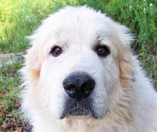 Meet Griffon! An adoptable Great Pyrenees.