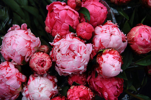 Hello lovies, Stressful morning equals peony post.