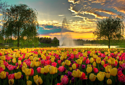 Spring Tulips, Chicago Botanic Garden, Glencoe, Illinois  photo via umbrawn