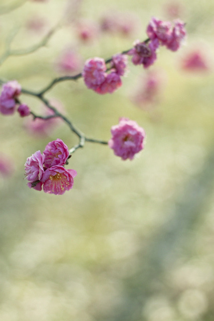 Ume : pink by yocca on Flickr.