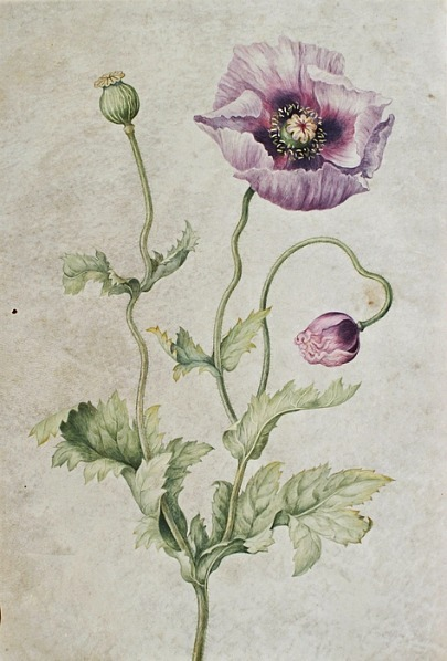 Johanna Helena Herolt Graff Anemone Late 17th - early 18th century