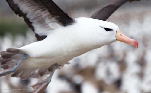 learningtosee:  SOUTH 20 Black-browed albatross in flight. This is the last in the SOUTH series for now and the last of the week of CLOSE as well. I too fly off soon for 3 weeks in India. I expect posting will be sporadic though I will try and leave the auto poster with something for you folk. But tumblers auto poster has a mind of its own so who knows..?  SOUTH Series Link (CC-BY-NC-ND) Please do not reblog without these links.