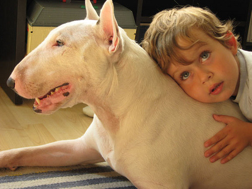 wanted a bull terrier since I was a kid