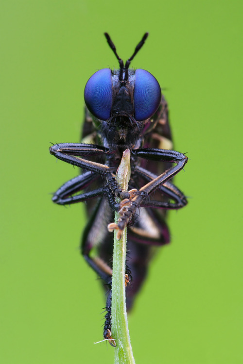 entomolog:  The violet black-legged robber fly (Dioctria atricapilla)