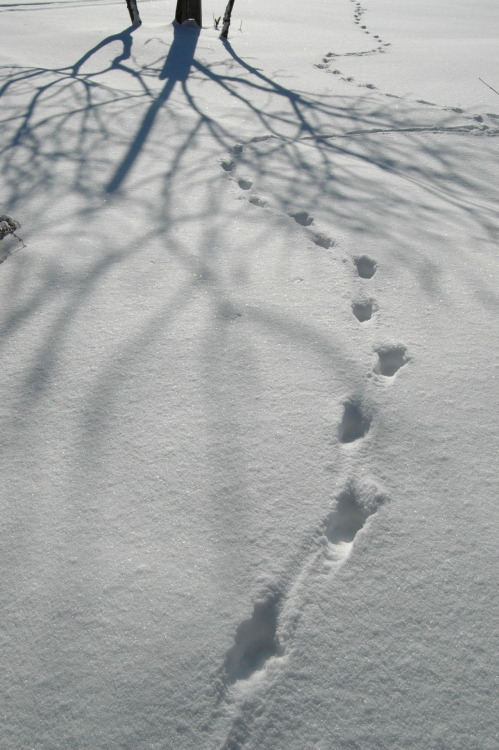 Coyote Tracks - by V. Maffini 2012  Even the most cunning predators leave prints behind.