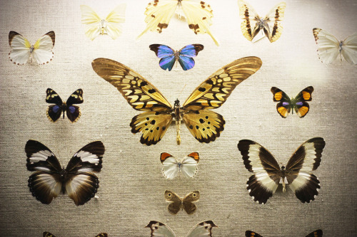 butterflies.  american museum of natural history, nyc.