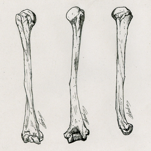 scientificillustration:  Humerus by vectanim on Flickr.