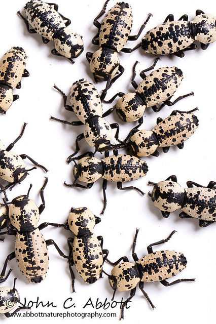 entomolog:  Southwestern Ironclad Beetles (Zopherus nodulosus haldemani)  (by Abbott Nature Photography on Flickr)  Those are pretty!