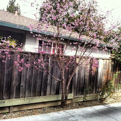 Cherry blossoms #nature #outside my front door  (Taken with instagram)
