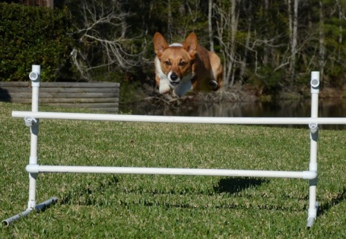 Corgi Liftoff!