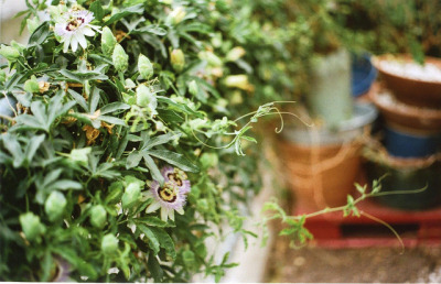 greenhousecollective:  yashicatlelectro-roll34-017 by even eve on Flickr.  Passiflora is one of my favorite plants, despite it's crazy growth habit!