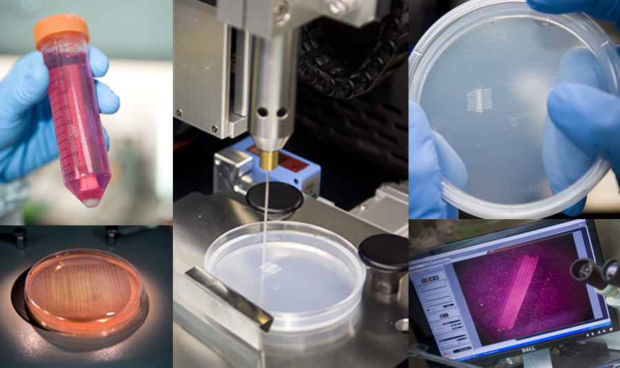 Muscle tissue produced with a 3D printer. San Diego startup Organovo has developed a bioprinting technique which allows it to create human tissue starting with any cell source. The printer deposits lines of cells closely together, where they are allowed to grow and interconnect until they form working muscle tissue.   Unlike other experimental approaches that utilize ink-jet printers to deposit cells, Organovo's technology enables cells to interact with each other the way they do in the body. How? They are packed tightly together, sandwiched, if you will, and incubated. This prompts them to cleave to each other and interchange chemical signals. When printed, the cells are grouped together in a paste that helps them grow, migrate, and align themselves properly. In the case of muscle cells, the way they orient themselves in the same direction allow for contractions of the tissue.   The company hopes to one day build entire organs for transplants. Because tissue is able to be built from a patient's own cells, the risk of rejection would be very low. via 8bitfuture: