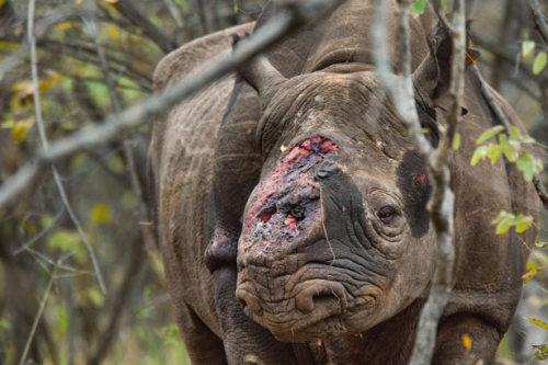 Rhino Wars Rivaling the price of gold on the black market, rhino horn is at the center of a bloody poaching battle…
