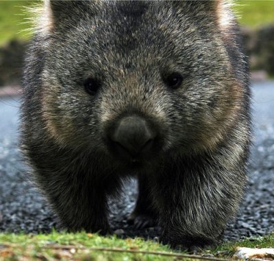 It's wombat night.