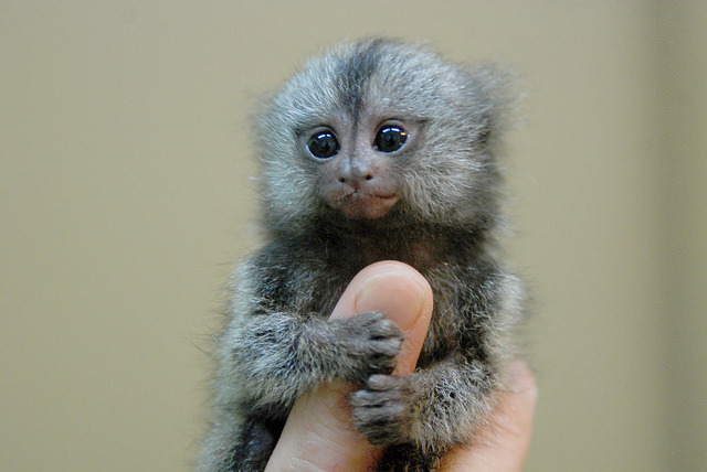 Marmoset monkey by floridapfe on Flickr.Cutest thing in the world
