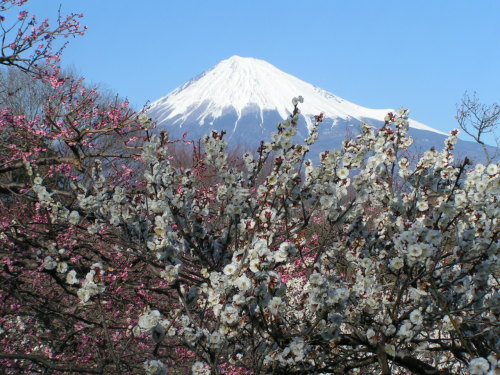 The plum blooms and Mt.Fuji.