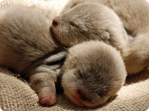 the-absolute-best-posts:  Cute tiny newborn Otters sleeping via:cutestuff From llbwwb, follow llbwwb for more posts like this.