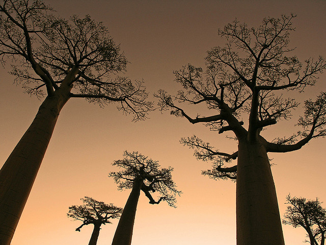 5 Baobabs by Zé Eduardo… on Flickr.