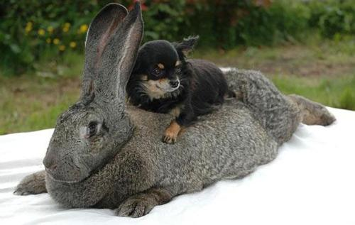 Resting, a very small dog or a very large rabbit? From zagica.blogspot