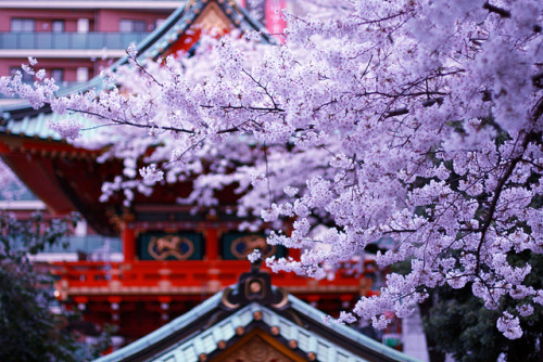 ileftmyheartintokyo:  SAKURA x shrine by drkigawa on Flickr.
