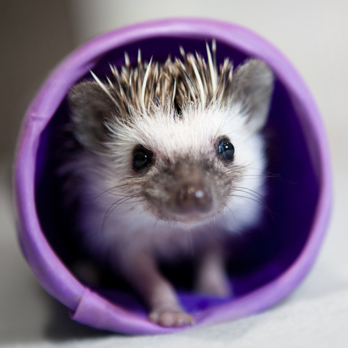 thefluffingtonpost:  Tiny Hedgehog Melts Hearts With Cuteness An African pygmy hedgehog from Great Britain has been accused of possessing heart stopping cuteness without the proper license.  Experts say untrained use of this level of cuteness can be extremely dangerous and, if convicted, the minimum sentence is 3-5 hours of snuggling. Via Adam Foster.