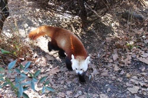 Submitted by paradisefalls: Red Panda @ Central Park Zoo.