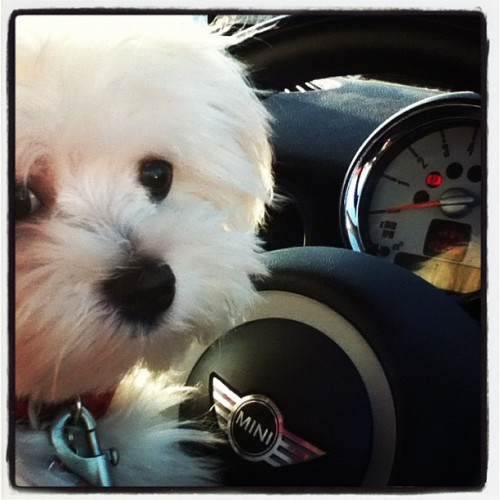 Lopez takes the reigns! #maltese  (Taken with instagram)
