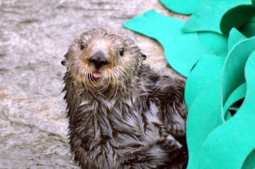 This photo awaits your creative caption!  Learn more about sea otters at the Aquarium or watch them on our live web cam.