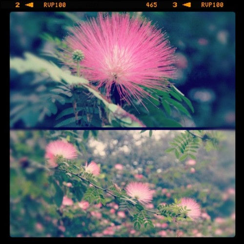 Mimosa flowers in Mumbai, India January 2012 #pinkflowers #pink #flower #mimosa #mimosaflower #pinkmimosa #pretty #beautiful #closeup #macro #tree #spring #springtime #primavera #mumbai #Bombay #india #branch #beautiful #perspective  (Taken with Instagram at Mumbai, India)