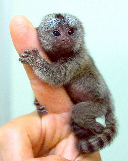 Marmoset monkey by floridapfe on Flickr.