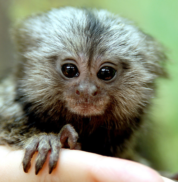 Baby marmoset  by floridapfe on Flickr.