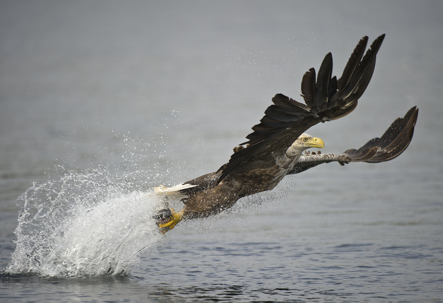 White-tailed eagle (Haliaeetus albicilla) fishing | image by Andy Astbury