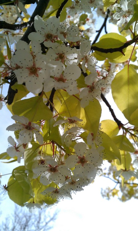 Cherry Blossom Flower. :D  Photo Credit? Me!