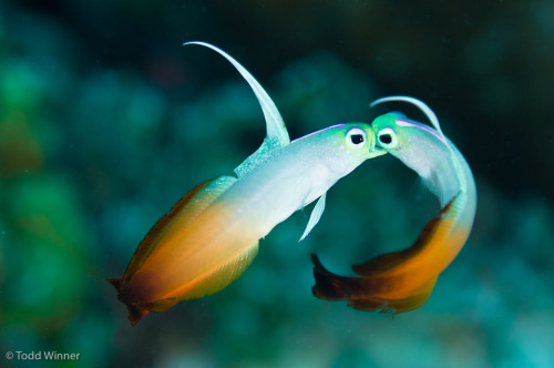 Pair of Fire Dart Gobys Kissing By Todd Winner Nemateleotris Magnifica, Australia, Great Barrier Reef, Coral Sea Brought to you by Underwater Photography Guide, the best online resource for divers and underwater photographers.