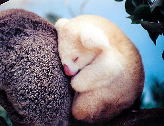 burnworks:  Albino koala via:cutetuff