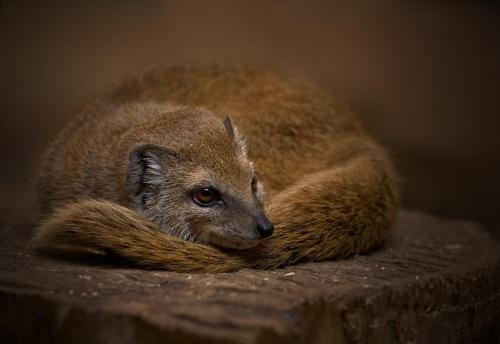 Yellow mongoose. Photographer: Dmitry Knut