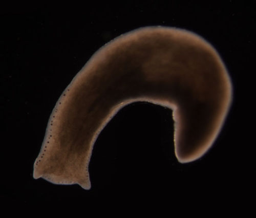 "Immortal Flatworms Defy Age by PhysOrg staff   The discovery, published in the Proceedings of the National Academy of Sciences, may shed light on the possibilities of alleviating ageing and age-related characteristics in human cells. Planarian worms have amazed scientists with their apparently limitless ability to regenerate. Researchers have been studying their ability to replace aged or damaged tissues and cells in a bid to understand the mechanisms underlying their longevity. Dr Aziz Aboobaker from the University's School of Biology, said: ""We've been studying two types of planarian worms; those that reproduce sexually, like us, and those that reproduce asexually, simply dividing in two. Both appear to regenerate indefinitely by growing new muscles, skin, guts and even entire brains over and over again… (read more: PhysOrg)     (image: Eduard Sola 