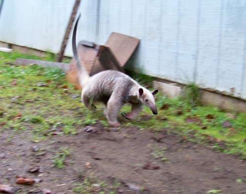 Running tamandua! OMG, I can't contain the cute!