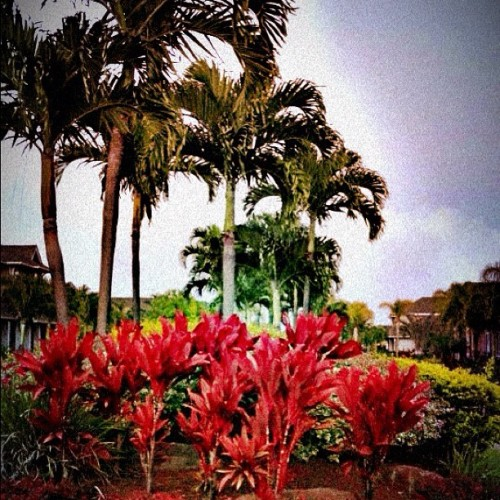 ☀☁🌴🌺 #iphone #beautiful #clouds #trees #808 #ewabeach #instagramhi #instagram #home #808state #hawaii #flowers #palmtrees  (Taken with instagram)